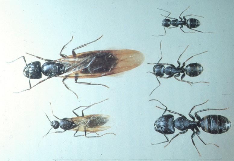Don't let carpenter ants damage your home