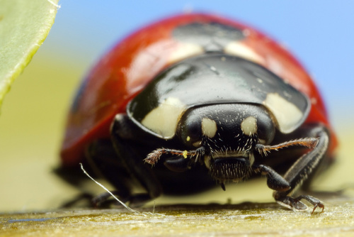 Buckmaster can treat and prevent problems with ladybugs
