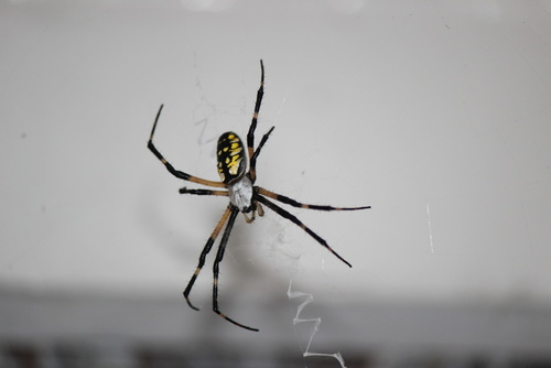 Get rid of unwanted spiders with Buckmaster